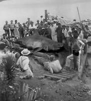 Great White Shark In Cuba 1940 OLD FISHING PHOTO