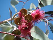 Huile de essentielle d'Eucalyptus citronné pure et naturelle