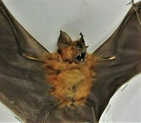 Real Bicolored Roundleaf Bat Hipposideros bicolor Spread FAST USA