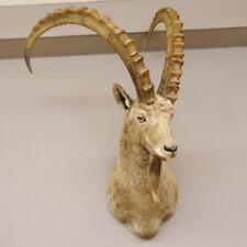 Sibirischer Steinbock Kopfpräparat Kopf Schulter Präparat taxidermy HL 104 cm