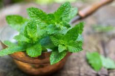 Seeds Mint Peppermint Mentha Medicinal Herbs Perennial Planting Organic Ukraine