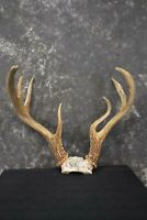 Whitetail deer antler skull cap taxidermy for sale SKU 1775.2