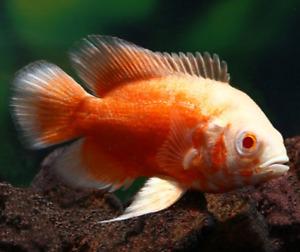 Albino Ruby Oscar - 3inches live freshwater aquarium fish