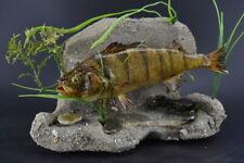 "Amazing Stuffed 10"" Perch w/  Crab wall Mount Taxidermy Fish Cabin Decor Rustic"