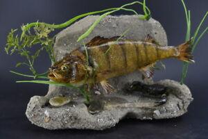 "Amazing 15"" Perch w/ Crab wall / standing Mount Taxidermy Fish Perca fluviatilis"