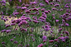 Verbena Bonariensis - 500 Seeds - Hardy Perennial Flower