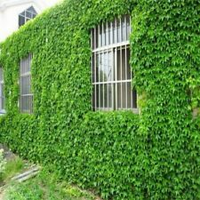 Boston Ivy 100 Pcs Japanese Creeper Green Grass Home Garden Planting Seeds