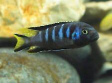 WetPets Metriaclima sp. Elongatus Chewere Malawi Juvies plus rarer fish LOOK.