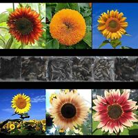 SUNFLOWER 200 SEED COLLECTION FREE SHIPPING HEIRLOOM MULTIPLE VARIETY GIANT USA