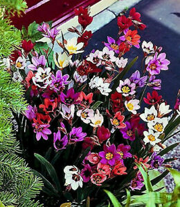 15 SPARAXIS MIXED COLOUR BULBS/CORMS GARDEN SUMMER PERENNIAL FLOWER PLANT NOW