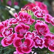 250 x Dianthus BluMenamen süße William-Mix Samen unter der Sonne Seeds  NEU~