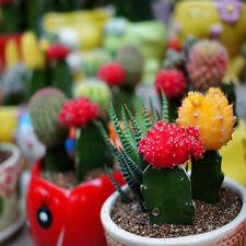 Cactus Ball Seeds Perennial-Succulent Indoor Fleshier Plant Flower Mini Mixed