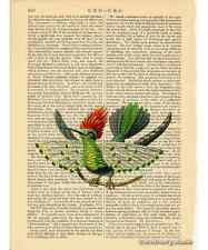 Dot Eared Coquette Hummingbird Art Print on Antique Book Page Vintage Illust