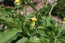 Arisaema flavum SEED Interesting Arum from China Rare yellow striped flower