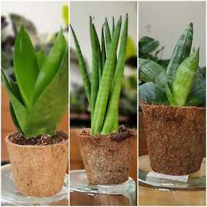 Sansevieria houseplants-Mother in law's tongue-Snake plant-Money Plant-6cm Pot