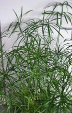 500 Samen Cyperus alternifolius, Zyperngras