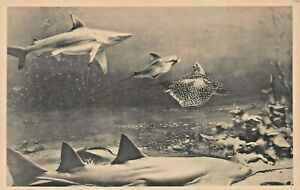 CHICAGO MUSEUM NATURAL HISTORY-SHARK & RAYS~PHOTO INFORMATION CARD-POSTCARD SIZE