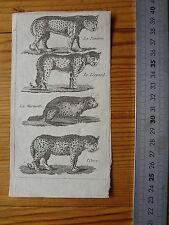 Ancienne Gravure d'animaux  : Panthère, Léopard, Marmotte et Once