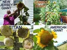 4 GIANT VARIETIES / SUNFLOWER COLLECTION / GIGANTEUS JUMBO GIANT TITAN NJ GIANT