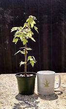 Bonsai Tree, Trident Maple, Acer buergerianum, Starter Tree, Live Tree