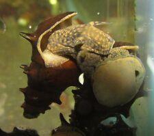 Pagoda Spiky Snail Live Freshwater Aquarium Fish