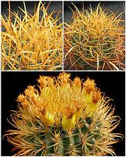 50 Samen der Ferocactus chrysacanthus,Sukkulenten,seeds succulents G