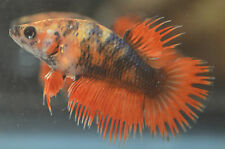 live betta fish- IMPORTED FEMALE- FANCY TIGER FEMALE CROWNTAIL