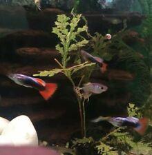 10 Guppy Hybrids Tropical Fish. King Cobra, Snakeskin, Tuxedo, Endlers, Neon