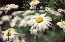 Wildflower, Daisies -  Greeting Cards - Maine artist, Jean McLean