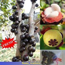 20pcs Mangosteen fruit Mangosteen seeds Organic heirloom fruit seeds tree seeds
