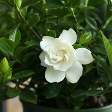 20pcs Double Gardenia flower Seeds White Color Bloom Bonsai Tree Home Decor