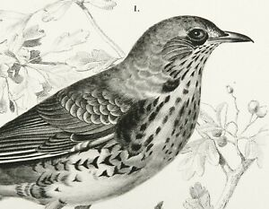 1849 Antique lithograph THRUSH BIRDS. FIELDFARE BIRD. ORBIGNY ZOOLOGY. 161 years