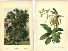 Stampa antica LECCIO ALBERO foglie botanica Quercus ilex 1890 Antique print