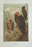1885 Prang Chromo Lammergeyer VULTURE/HAWK/EAGLE BIRD/BIRDS Print!