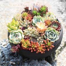 400pcs Rare Mixed Succulent Seeds Lithops Living Stones Plants Cactus Plant UK