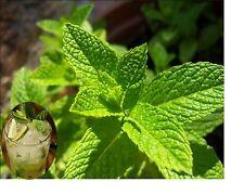 Mint Mojito seeds Spanish Hierbabuena Herb