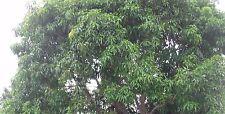 100 Mango Leaves *Fresh* Picked Same Day Shipped