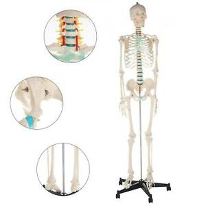 181cm Human skeleton anatomical model Life Size medical + poster + bonnet new
