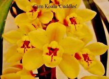 Orchid Cymbidium.Koala 'Cuddles' x Cym.Radiant Ruby 'Aussie Gem'