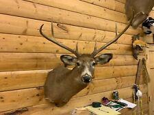 Huge Shoulder Mount 6 Point White Tail Deer Real Antler Buck Doe Taxidermy Wtd27
