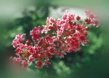 Crape Myrtle Peppermint Lace Lagerstroemia indica - 1 Plant in 2 Gallon Potted