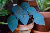 100 pcs Begonia pavonina seeds ,rare blue begonia bonsai flower flowers potted