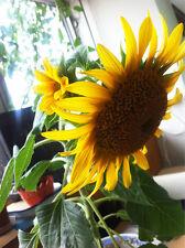 Sunflower Seed 20 Seeds Helianthus Annus Dwarf Sunflower Flower Garden Seed A033