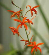 Laelia sanguiloba orchid plant - Species