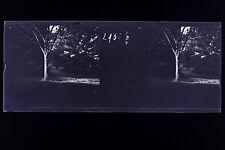 Etude d'arbre et de la lumière Plaque de verre stereo NEGATIF 1911
