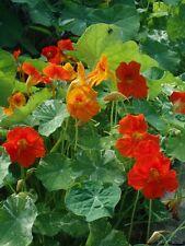 Nasturtium Alaska Mix 10 seeds HEIRLOOM Edible Flowers. garden
