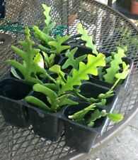 Rooted Starter Plants of Fish Bone or Ric Rac Cactus Cryptocereus Anthonyanus !