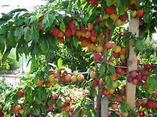 3 X fruit TREES;Cherry tree,Plum tree + Apple tree-B GRADE BARGAIN!