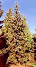 15 GREEN DRAGON SPRUCE SEEDS - Picea Retroflexa
