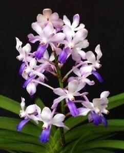 Orchid Vanda Fuchs Ocean Spray